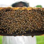 albine, fagure, apicultor
