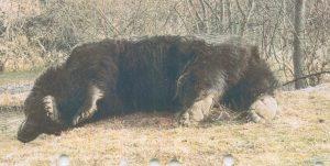 Ursul Arthur i%CC%82mpus%CC%A6cat